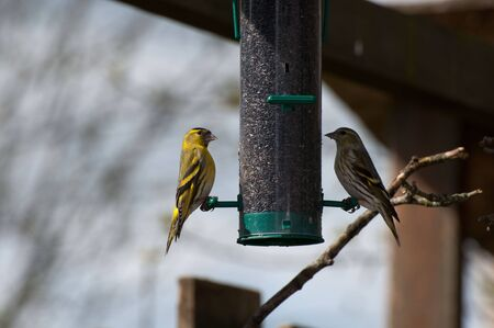 forked tail: Pair of Siskin.