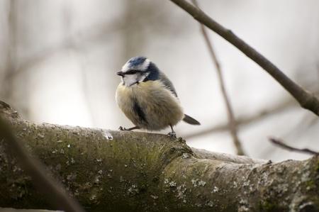 juvenile: Juvenile Blue-tit.