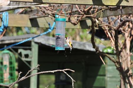 Goldfinch feeding on Nyjer seed  Stock Photo - 13401828