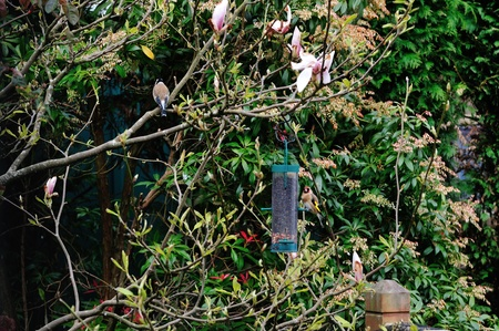 Goldfinch feeding on a Magnolia tree  photo