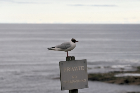 black headed: Black Headed Gull with a message  Stock Photo