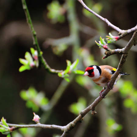 Goldfinch  Stock Photo - 14943438