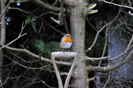 Robin on a garden spade  photo