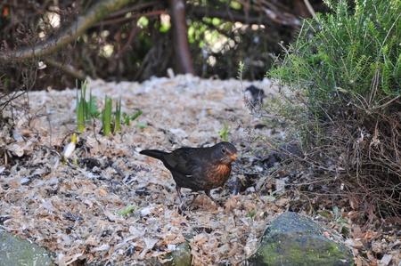 Blackbird in a garden  Stock Photo - 18219284