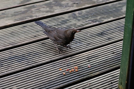sultanas: Blackbird feeding off Sultanas  Stock Photo