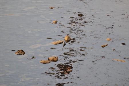 Heron fishing at the coastline of the North Sea  photo