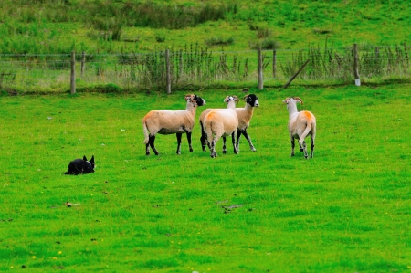 hardships: Four Swaledale sheep and a dog