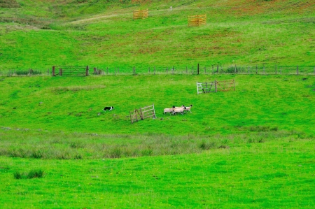 Sheepdog and sheep Stock Photo - 21563898