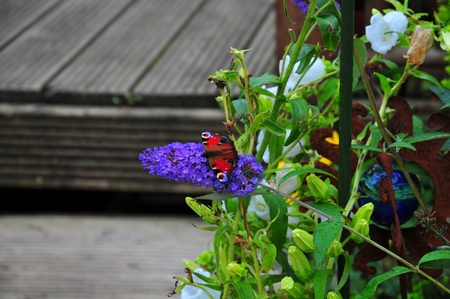 io: One of many butterflies that visit the Buddleia shrub, when in bloom  Stock Photo