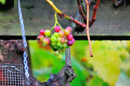 days gone by: A bunch of grapes which are outdoors up here in Scotland  A black variety which never really develope to be ripe for human consumption  The Blackbirds really love them at this stage  In two or three days these will be gone