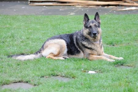alsation: Friendly Alsation enjoying a rest on the backgarden lawn.