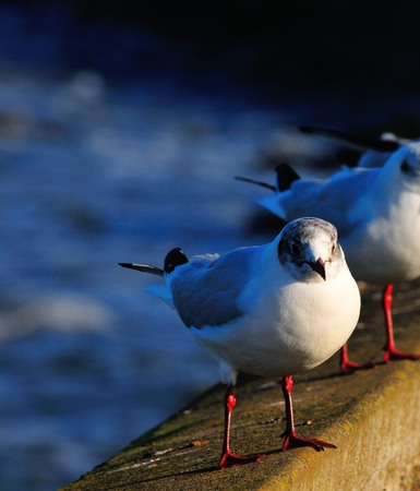 black headed: Juvenile Black headed gull perched on a harbour wall on the North East coast of England  Stock Photo