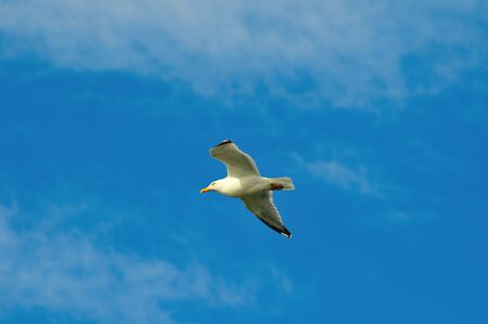gliding: A Herring Gull gliding in the wind
