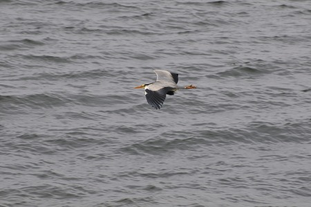 wing span: A Heron just about to land near the rocks at the side of The River Clyde in Scotland