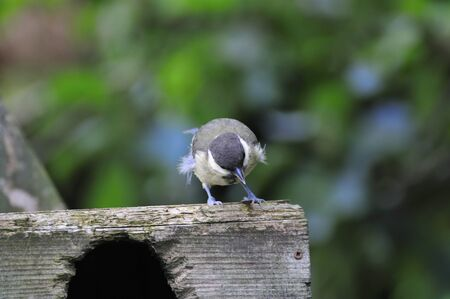 wee: A wee Great-tit  perched on the top of a nest box. Stock Photo