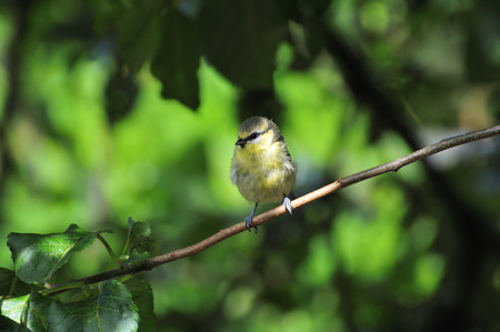 wee: A wee Juvenile Blue-tit  perched on a branch of my apple tree.