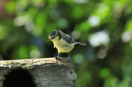 wee: A wee Blue-tit   on the top of a nest box. Stock Photo