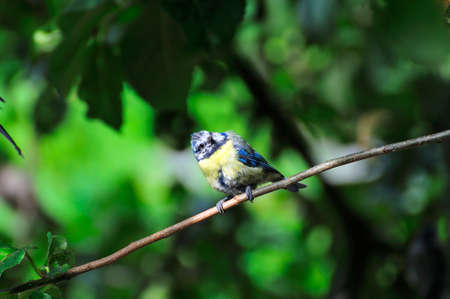 wee: A wee Blue-tit  perched on a branch of my apple tree. Stock Photo