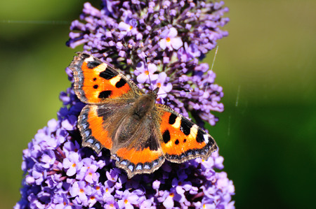 tortoiseshell: First Small Tortoiseshell to appear on my Buddleia tree in my urban garden in Scotland. Nice and sunny for it to be feeding.