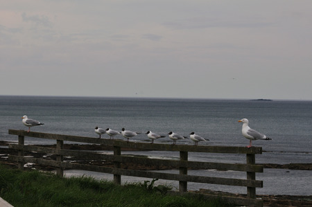 webbed legs: Adult Black-headed gulls flanked by two Herring gulls off the Farne Ialands. Stock Photo