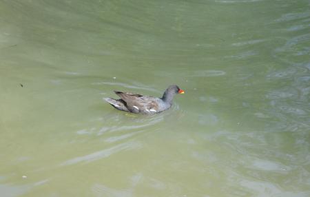 moorhen: Adult Moorhen on the Oxford canal near Braunston.