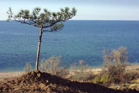 pebles: sole pine tree on a sandy beach