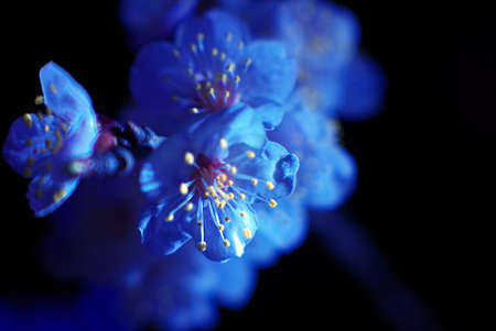 japanese apricot flower: A macro photo of a blossoming apricot flower on a black background