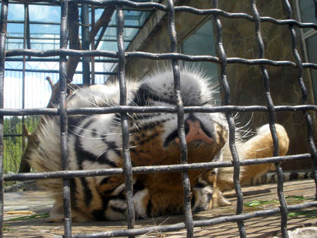 upside down sleeping tiger in a cage photo