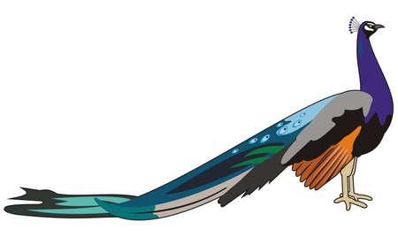 bird peacock Stock Vector - 9862072