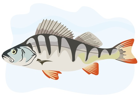 the perch: fish europian perch Illustration