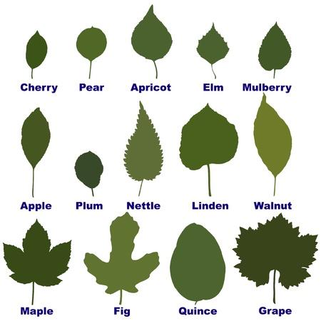 feuille de vigne: des feuilles d'arbres et de plantes Illustration