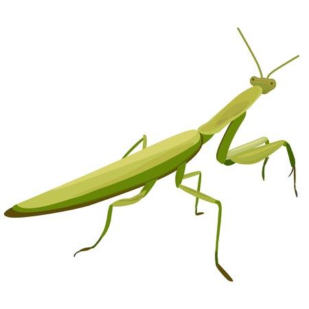mantis: illustration of Mantis on a white background