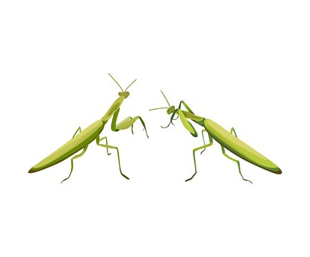 mantis: vector illustration of two praying mantis are fighting. Vector praying mantis. Symbol of martial arts