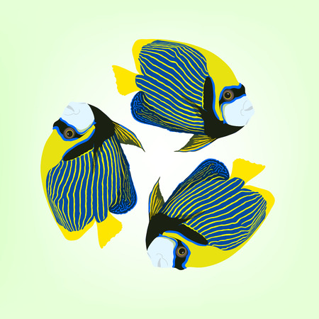 Pomacanthus imperator. Vector illustration of three swimming Emperor angelfishes. Illustration