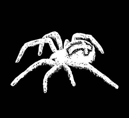 crawly: Illustration of cross spider Araneus. Vector illustration.
