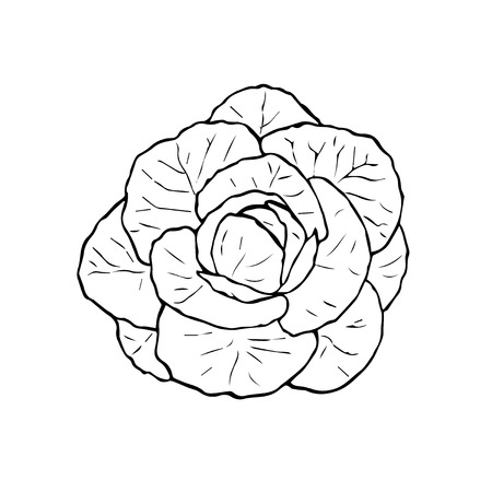 cruciferous: Illustration of black and white cabbage. Hand drawn cabbage