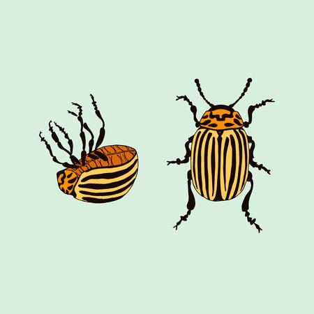 Vector Colorado potato beetle (leptinotarsa decemlineata) Illustration