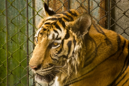 Tiger in a cage at the zoo Stock Photo - 13677600