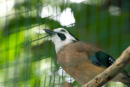 délivrance: Geai des chênes dans la cage