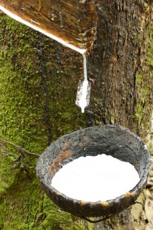 rubber plant: Milk of rubber tree Stock Photo