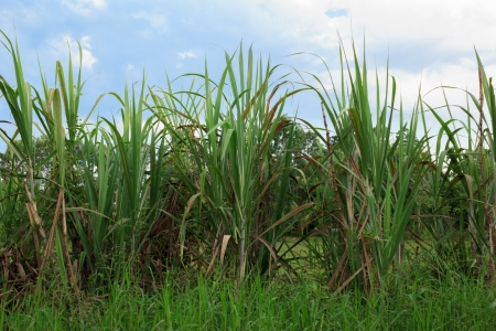 sugarcane plantation Stock Photo - 14198105