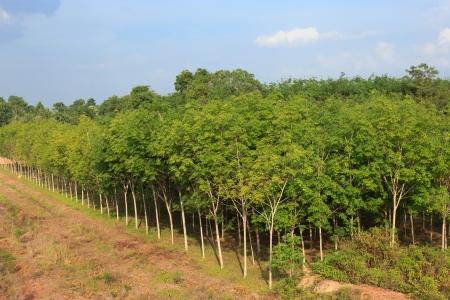 Reihen von Gummi-Bäumen