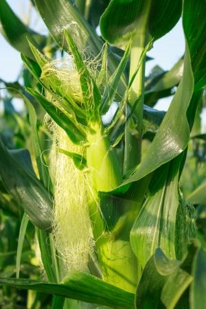 Corn growing in corn field Stock Photo - 14384658