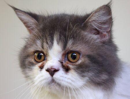 Close-up of persian cat