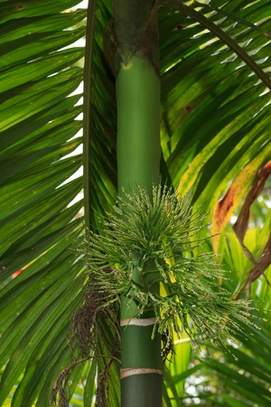 Betel palm Stock Photo - 14922199