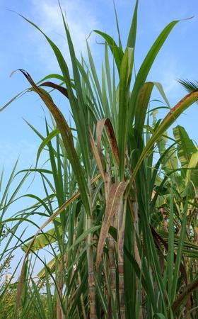 Sugarcane photo