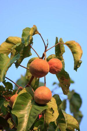 Santol fruit on tree Stock Photo