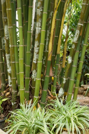Stems of areca photo