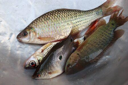 forage fish: Small fish