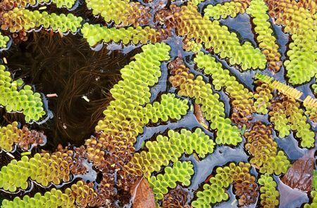 salvinia: Green Pistia float on the pond